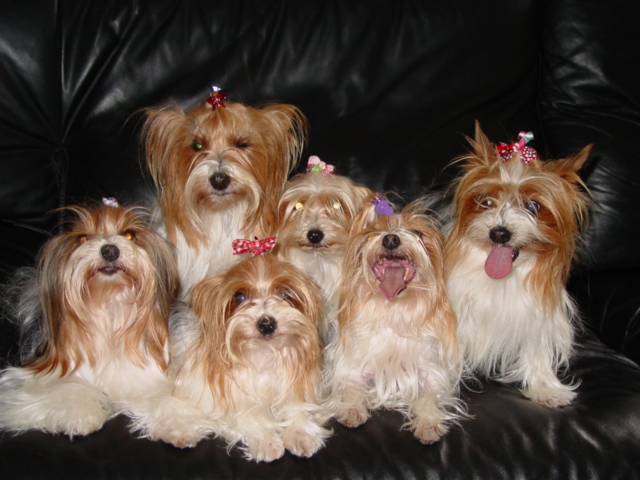 Parti Color Yorkies Parti Color Yorkys Party Color Yorkies